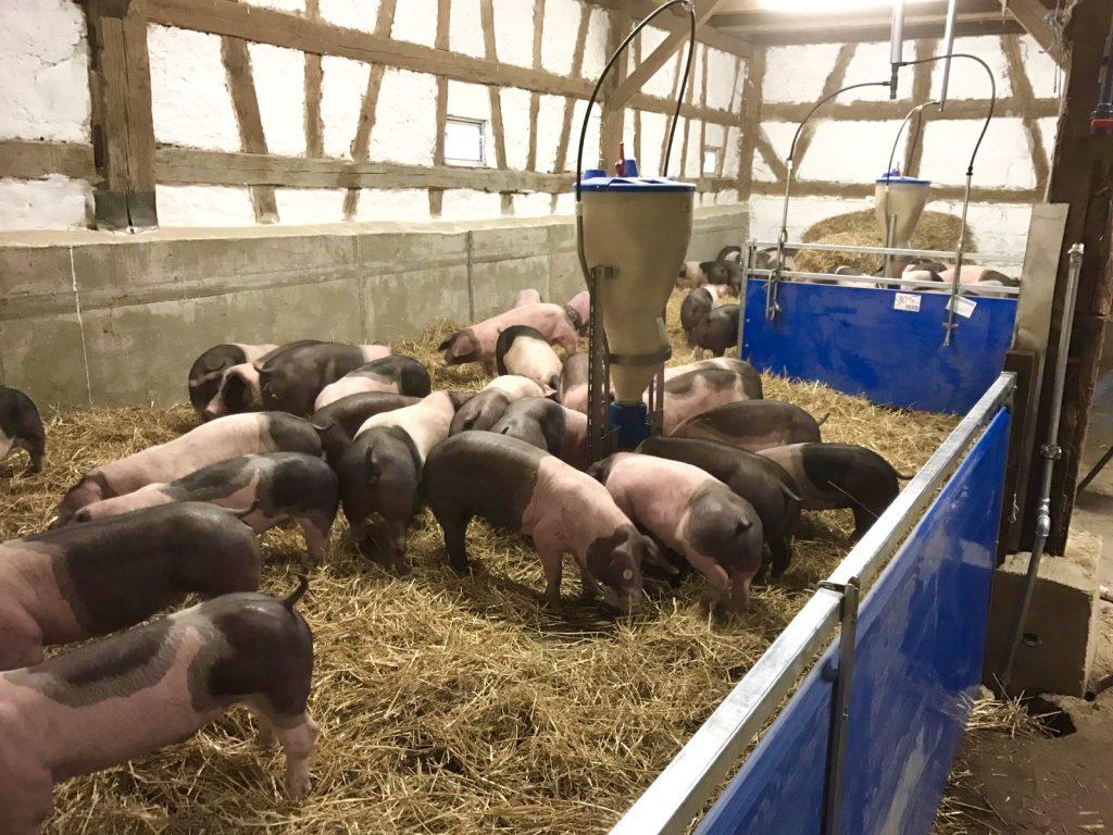 Schwäbisch-Hällische Strohschweine